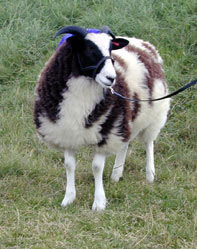 Nutwood Augusta shown as a lamb - 2000